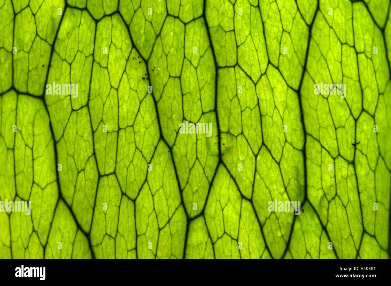 Leafe of Thayeria cornucopia, Bali - Stock Image