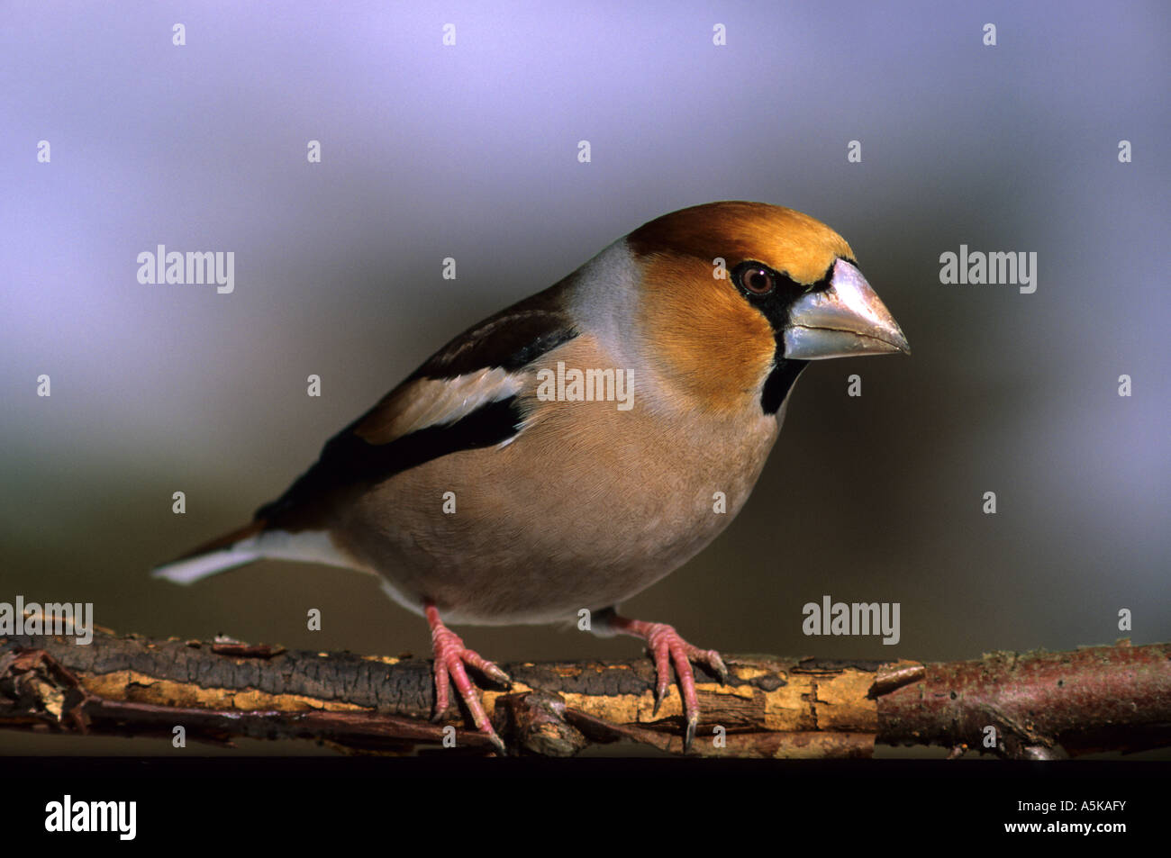 Hawfinch (Coccothraustes coccotraustes), Finches - Stock Image