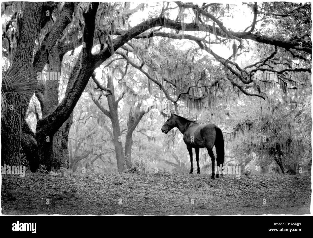 A Wild Horse Stands Under A Meadow Of Live Oak Trees In This Stock Photo Alamy