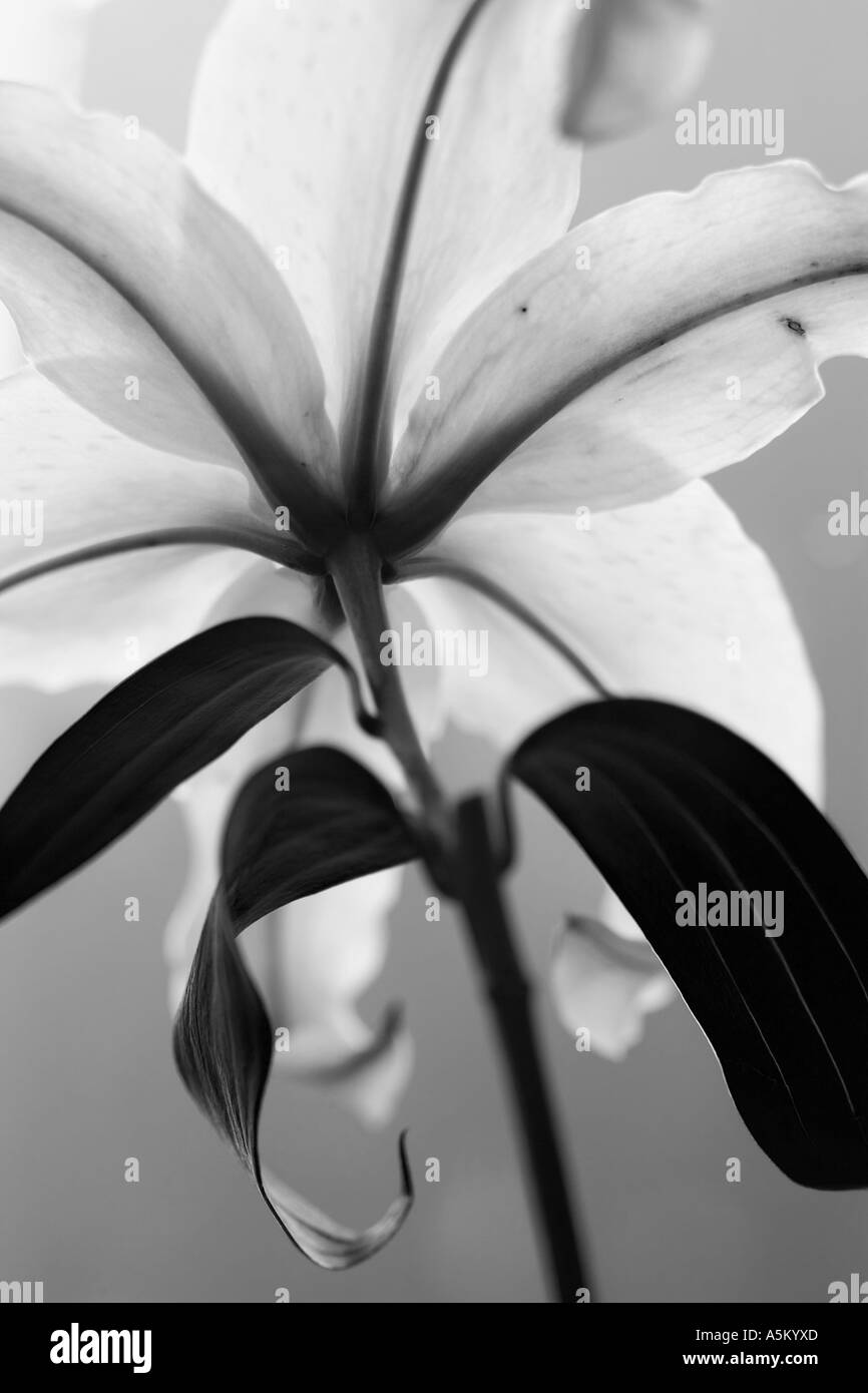 closeup of a white lilly - Stock Image