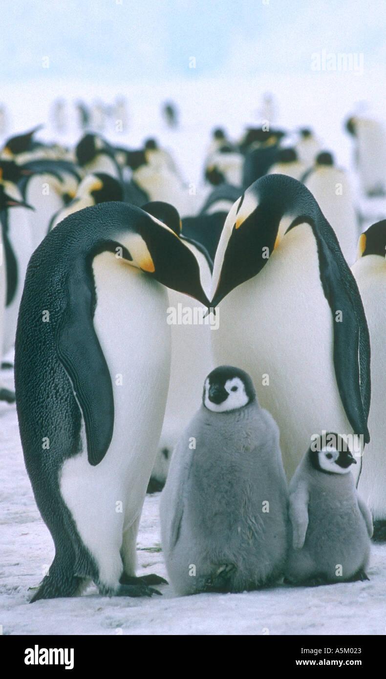 Emperor penguins chicks - Stock Image