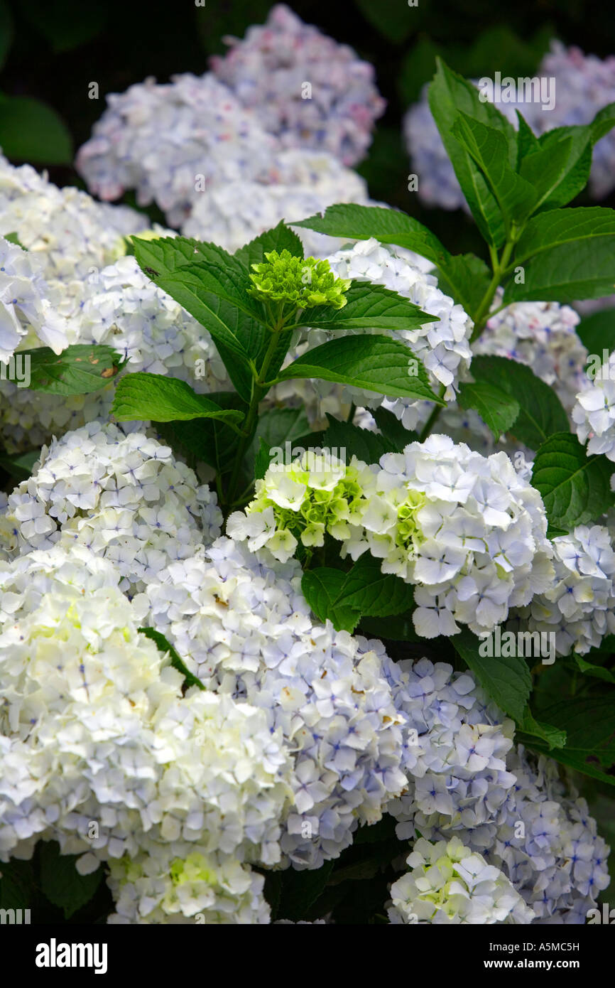Hydrangeas and fern - Réunion - Stock Image