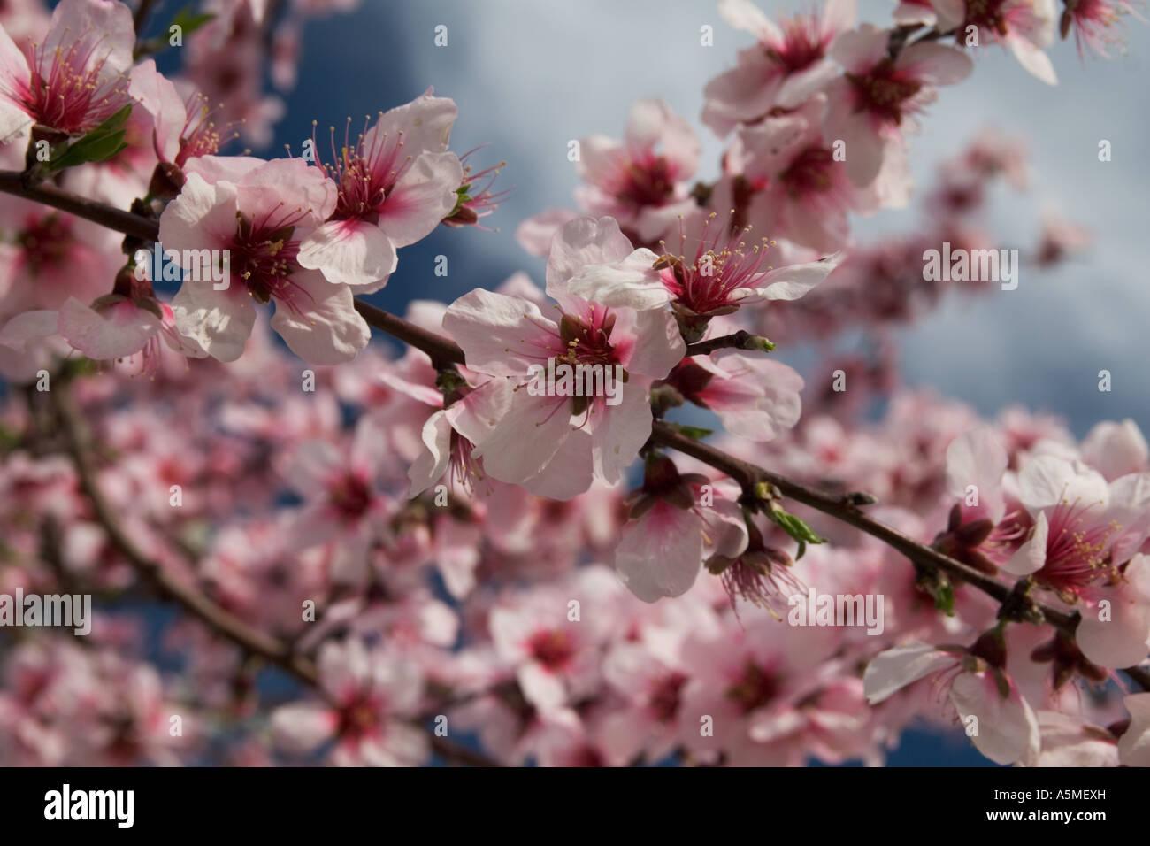 Huge selection of pink almond tree flowers stock photo 11344792 alamy huge selection of pink almond tree flowers mightylinksfo