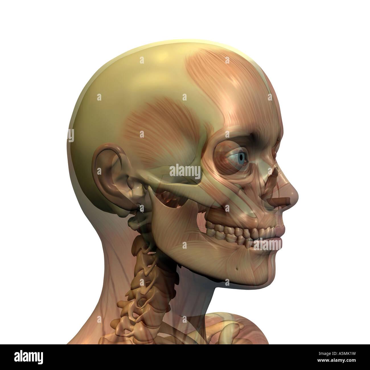 Anatomie Kopf anatomy head Stock Photo: 11346180 - Alamy