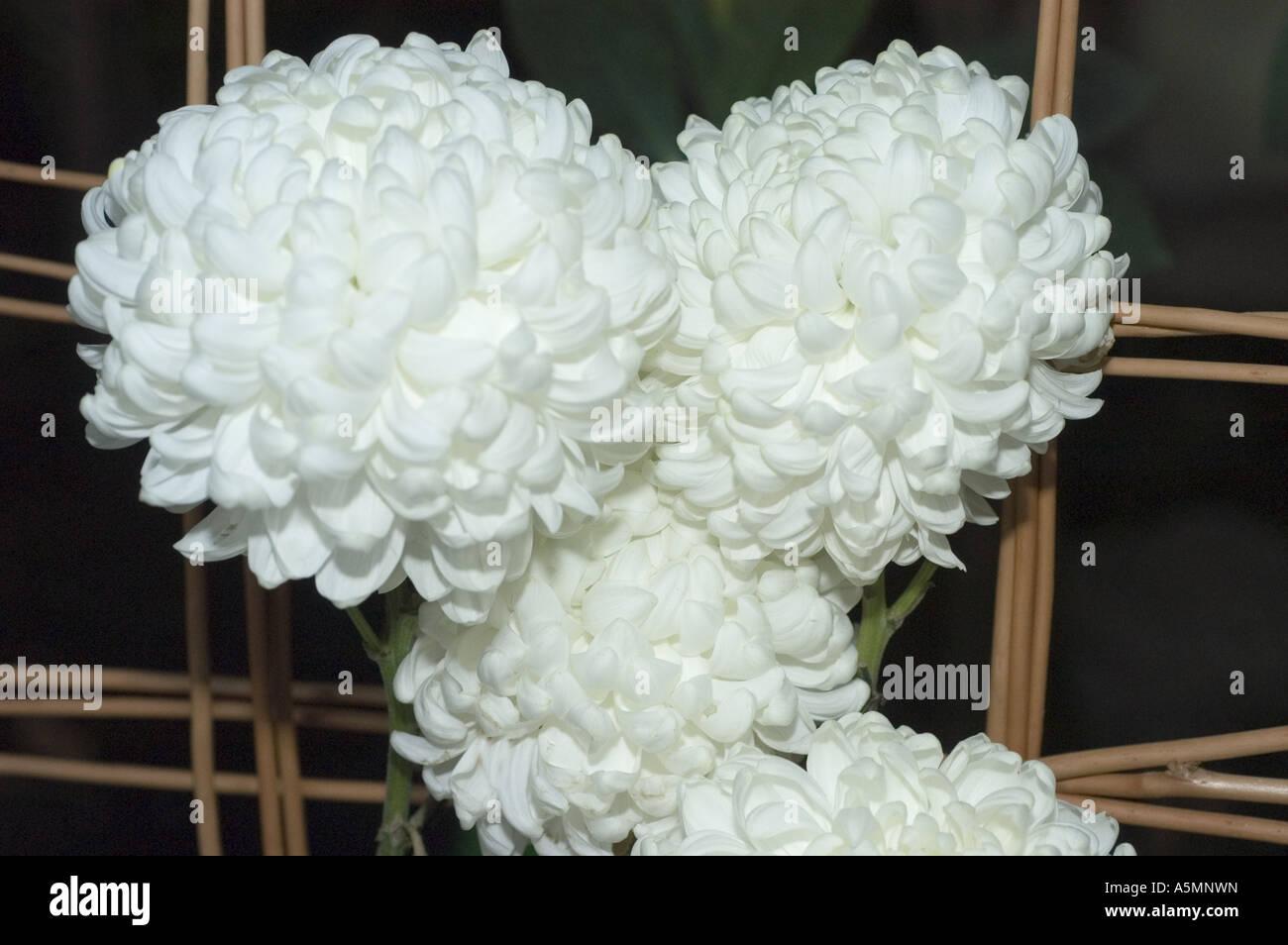 White flowers of chrysanthemum snowdon stock photo 11347136 alamy white flowers of chrysanthemum snowdon mightylinksfo