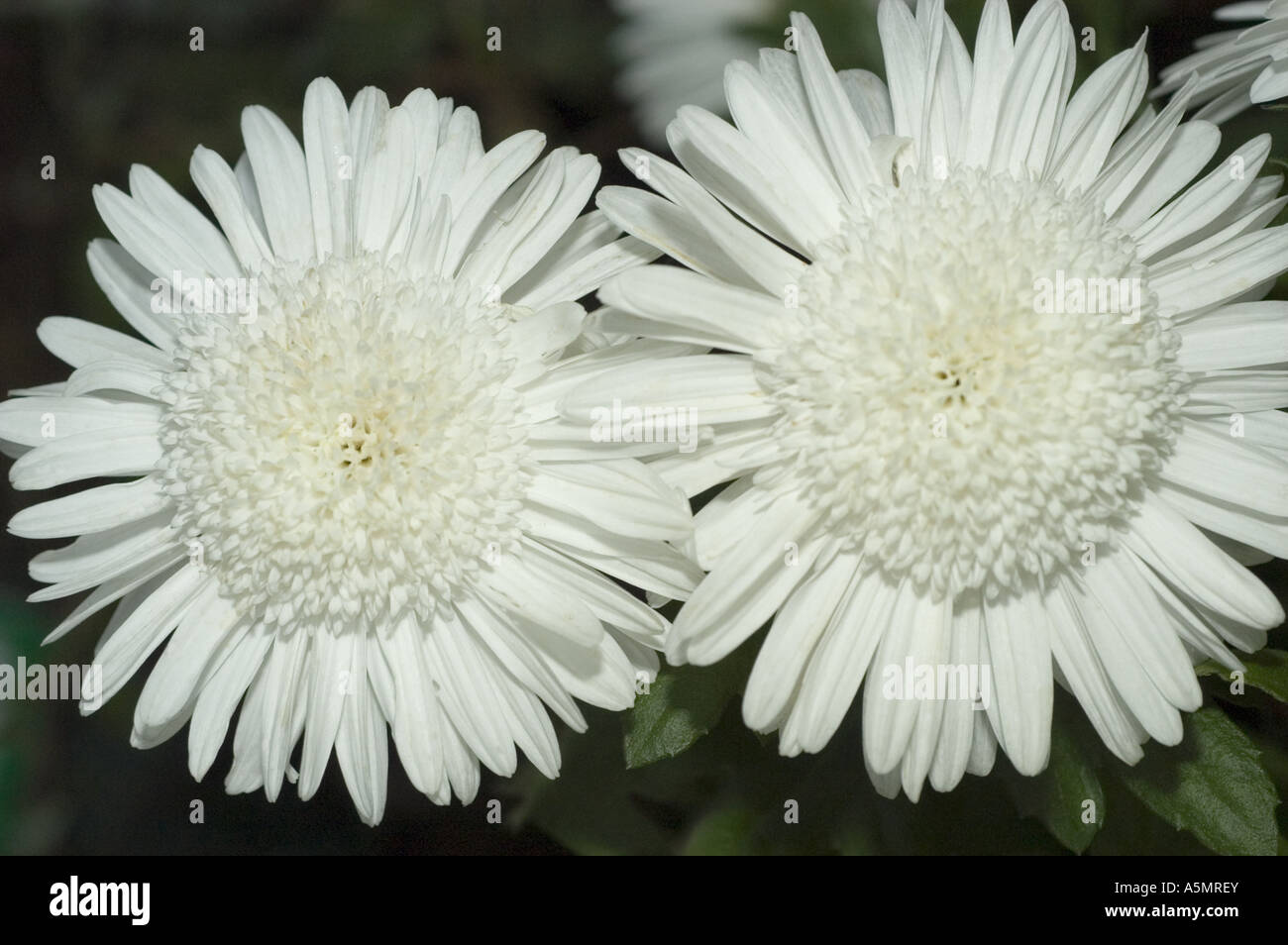 Pair Of White Chrysanthemum Flower Close Up Eleonora Stock Photo