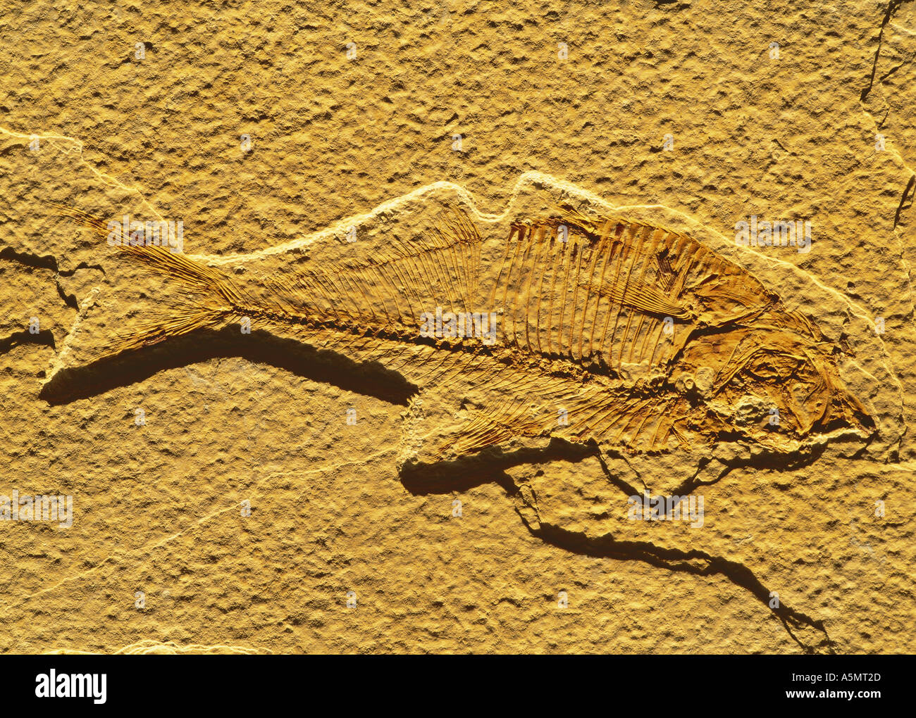 Fish fossil from Green River formation Wyoming USA - Stock Image