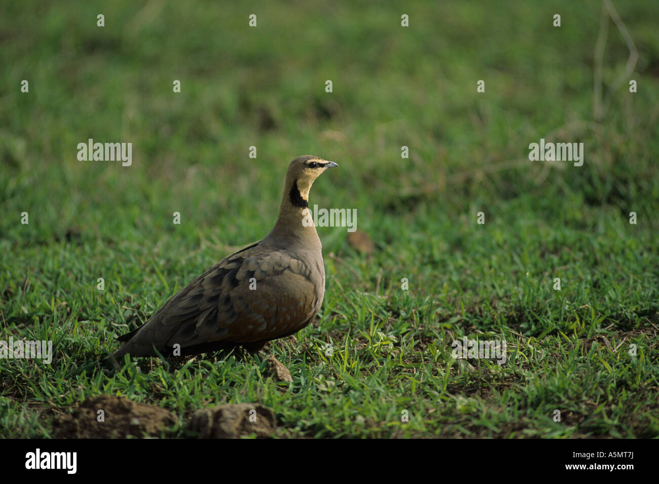 Sandgrouse Yellow Throated Pterocles gutturalis Male Stock Photo