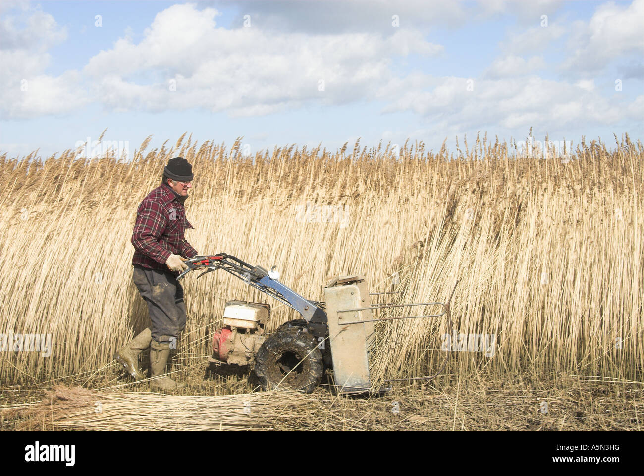 Reedcutter using mechanised cutter to harvest phragmites reed for thatching use North Norfolk March - Stock Image
