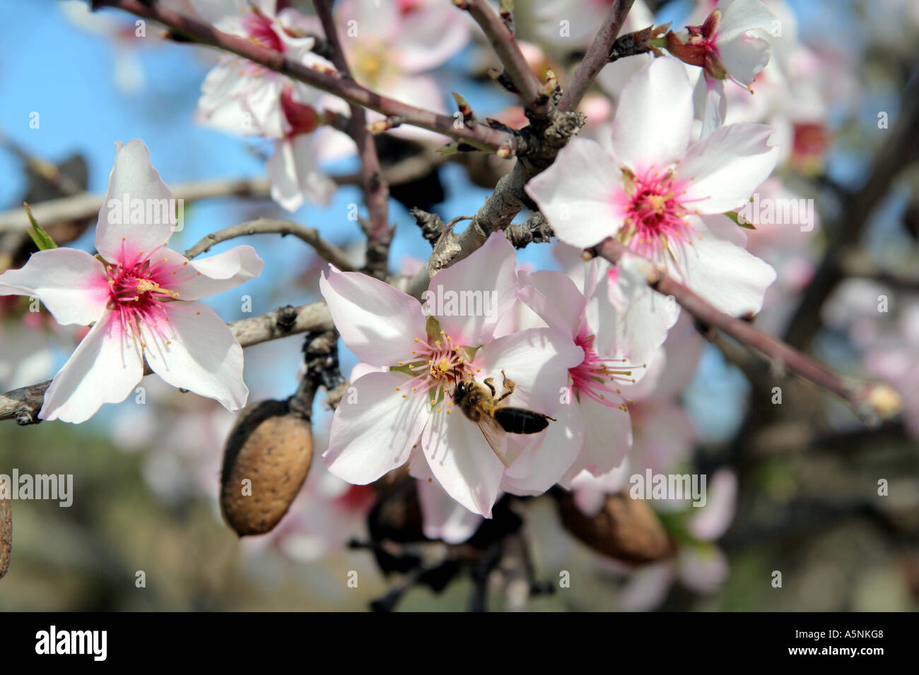 flower almond tree algarve portugal stock photos flower almond
