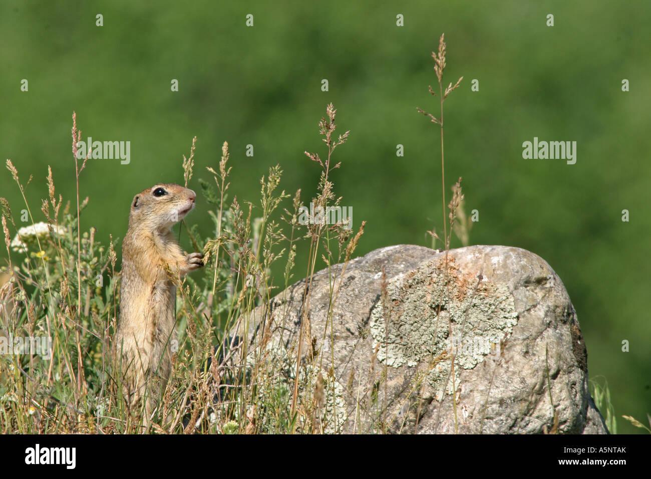 European ground squirrel European suslik European souslik Citellus citellus Spermophilus citellus Stock Photo