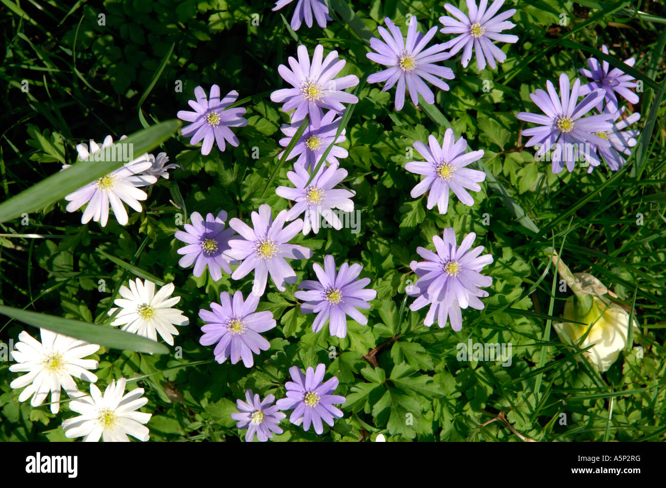 White Daisy Like Flowers With Yellow Centre Stock Photos White