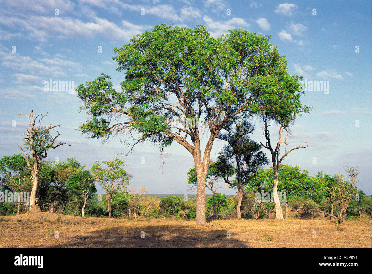 Picture of ebony tree