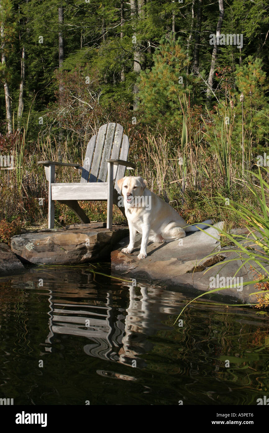 Yellow lab, Gracie, one of several kinds of retriever, is gentle, good natured and waits patiently near the lake - Stock Image