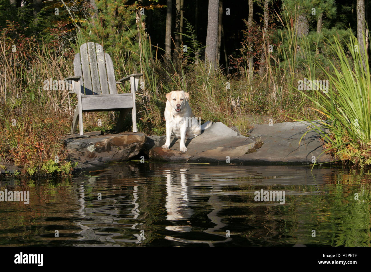 Yellow lab, Gracie, one of several kinds of retriever, is gentle, good natured and waits patiently for her ride across the lake - Stock Image