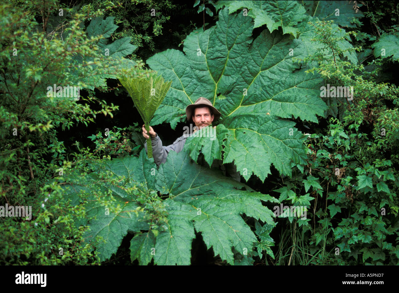 Man between giant plants in the cold rain forest Queulat National Park South Chile - Stock Image