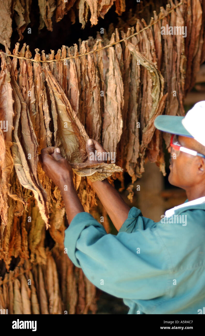 Tobacco Industry, Cigars Drying - Stock Image