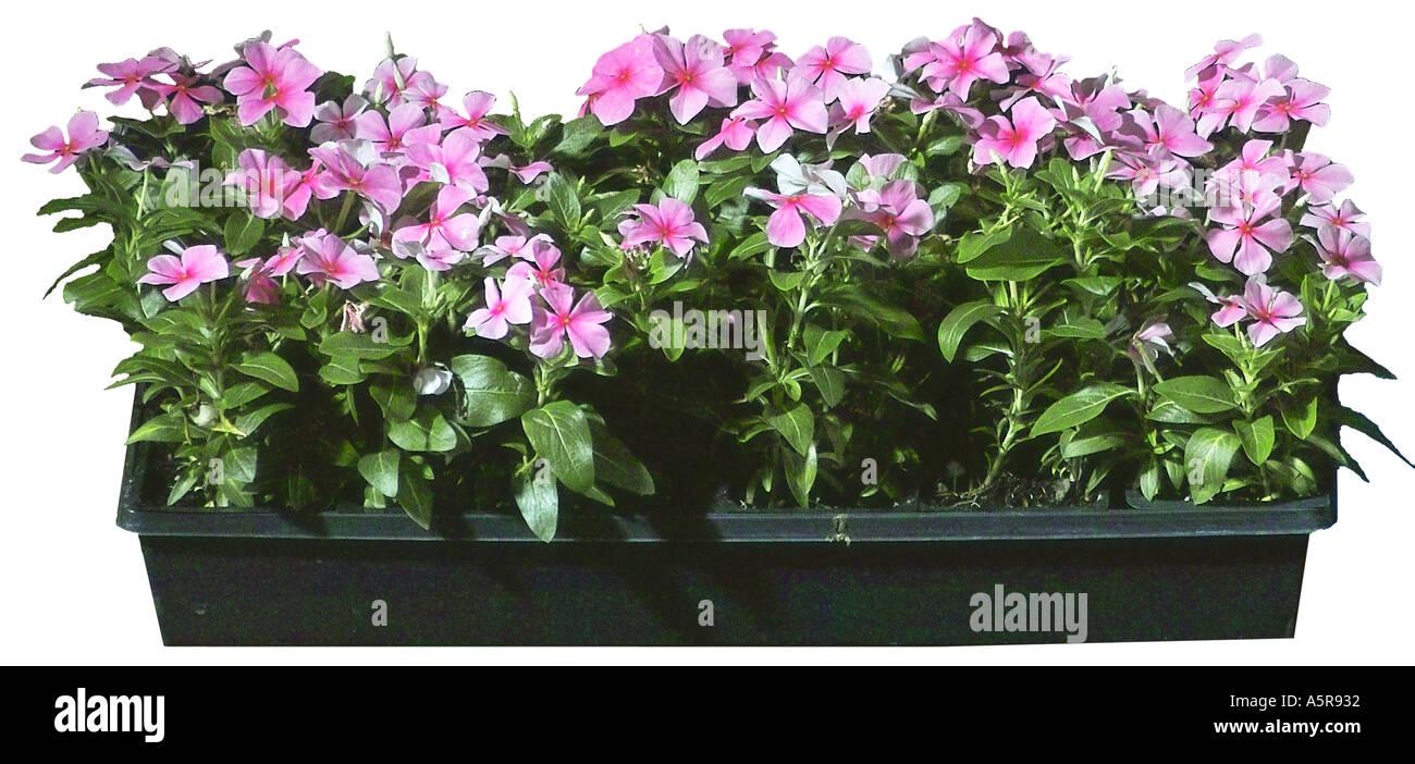 Impatiens flowers vinca annual lavender stock photos impatiens pink impatiens vinca flowers stock image izmirmasajfo