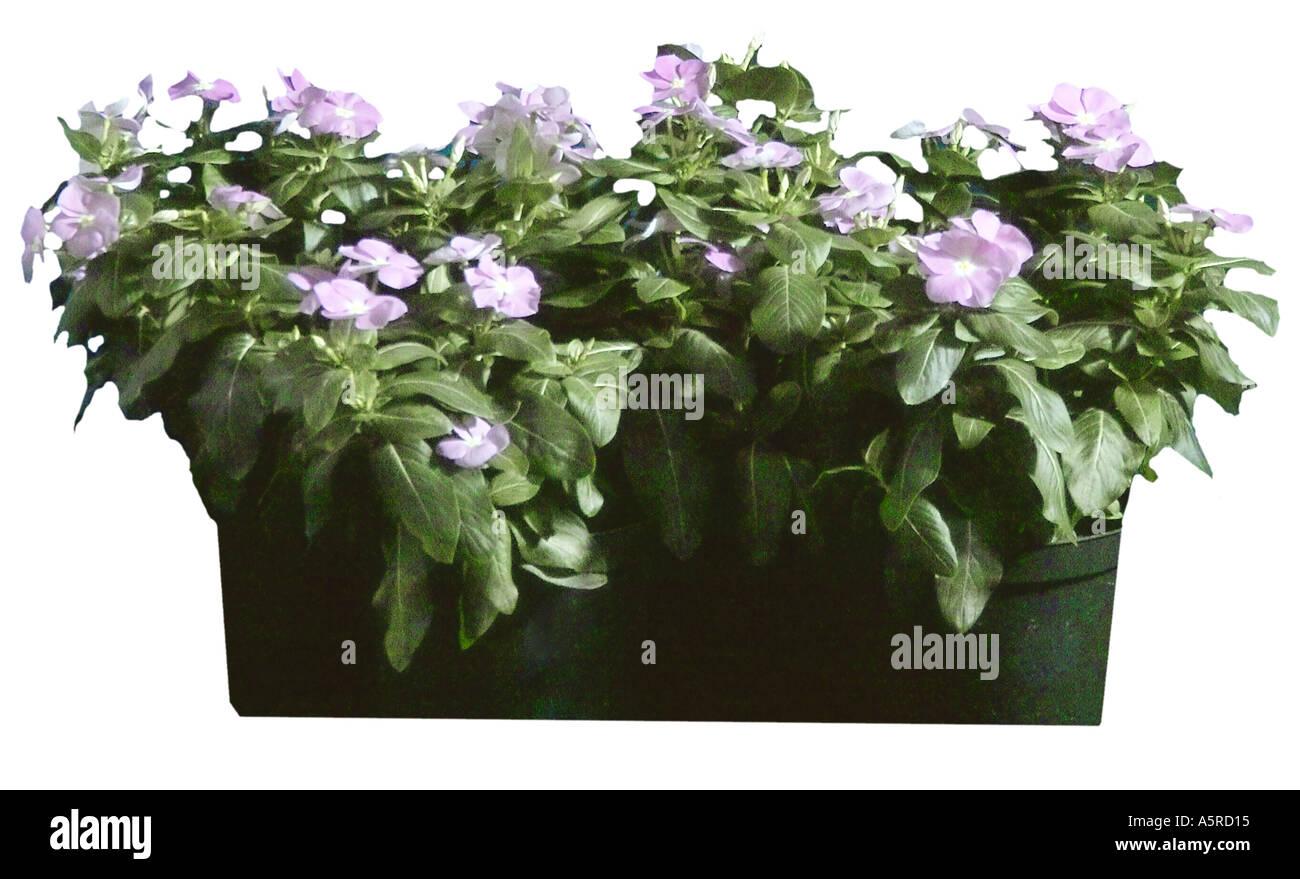 Impatiens flowers vinca annual lavender pariwinkle purple stock impatiens flowers vinca annual lavender pariwinkle purple izmirmasajfo