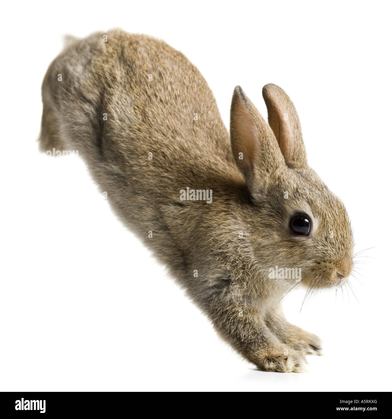Rabbit jumping Stock Photo