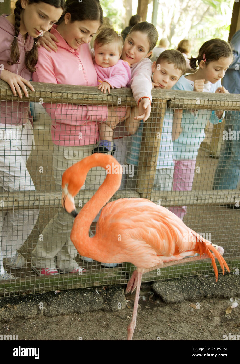 Group of children looking at America Flamingo (Phoenicopterus ruber) in zoo - Stock Image