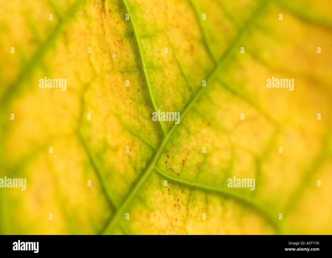 Leaf veins, extreme close-up - Stock Image