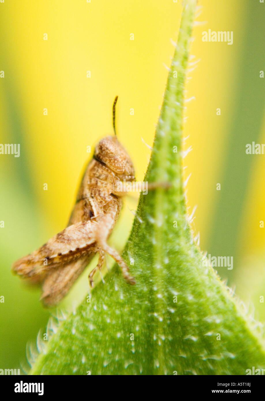 Grasshopper on leaf, extreme close-up - Stock Image