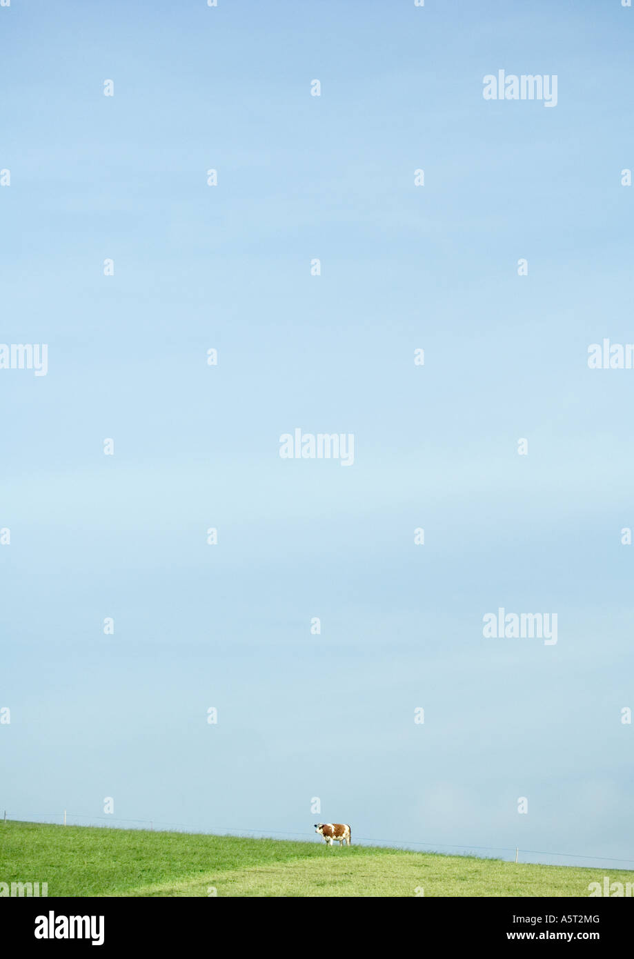 Cow standing in pasture, in distance - Stock Image