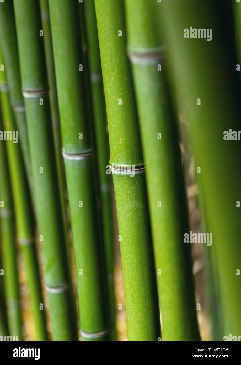 Bamboo stalks - Stock Image