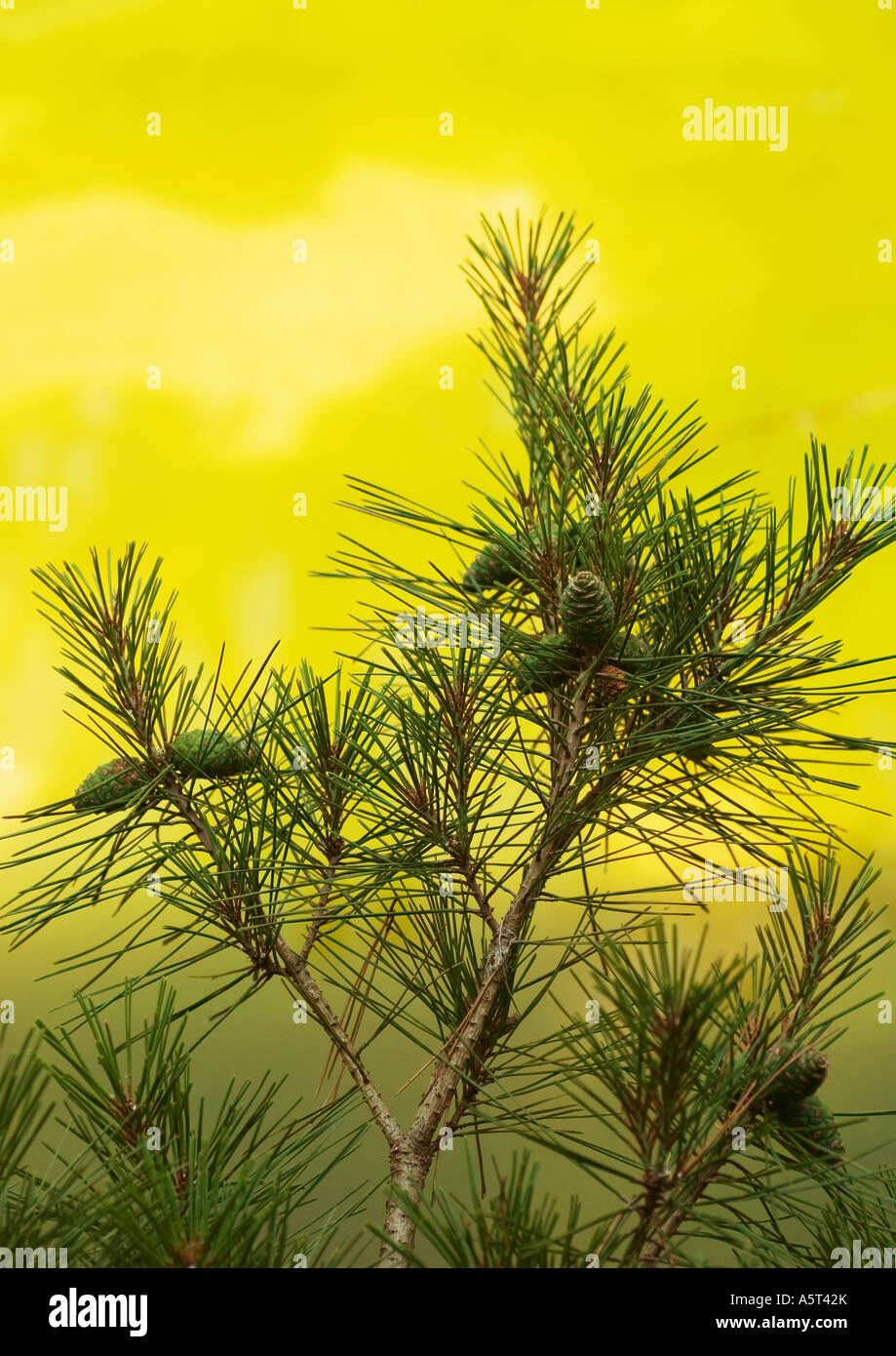 Pine branch - Stock Image