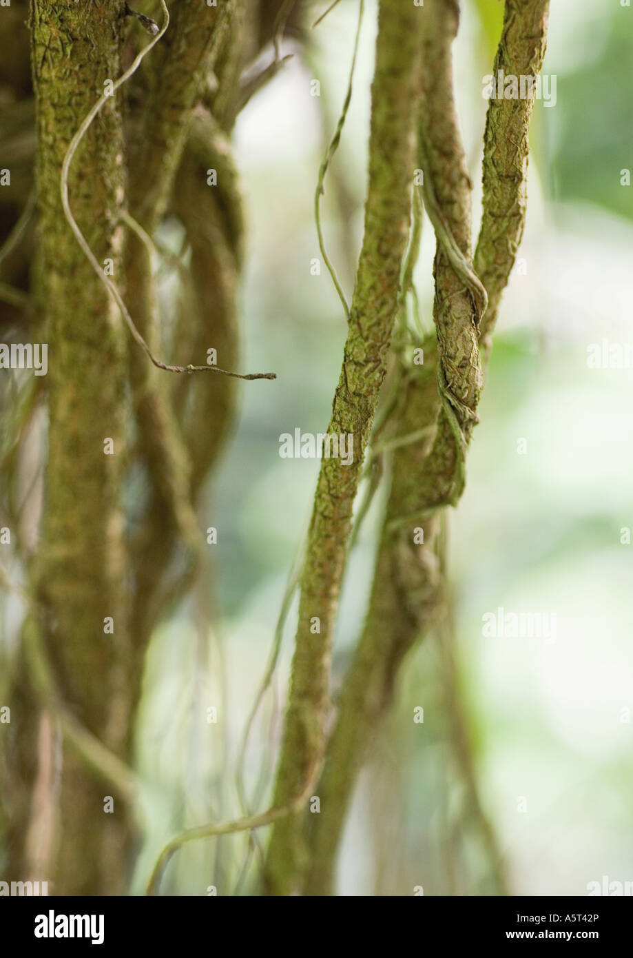 Vines - Stock Image