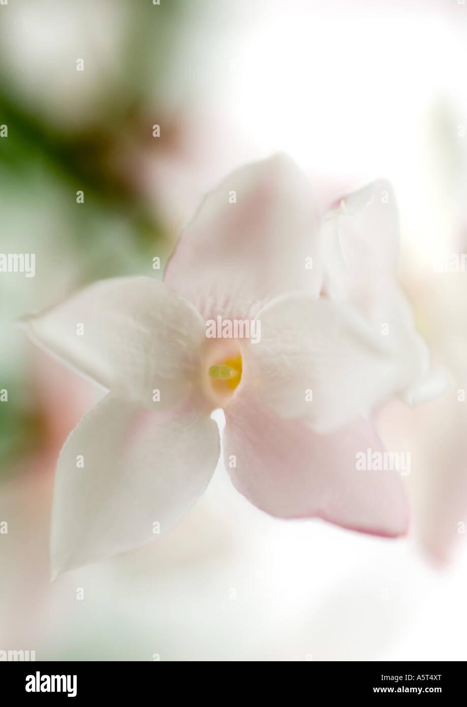 Jasmine blossom, close-up - Stock Image
