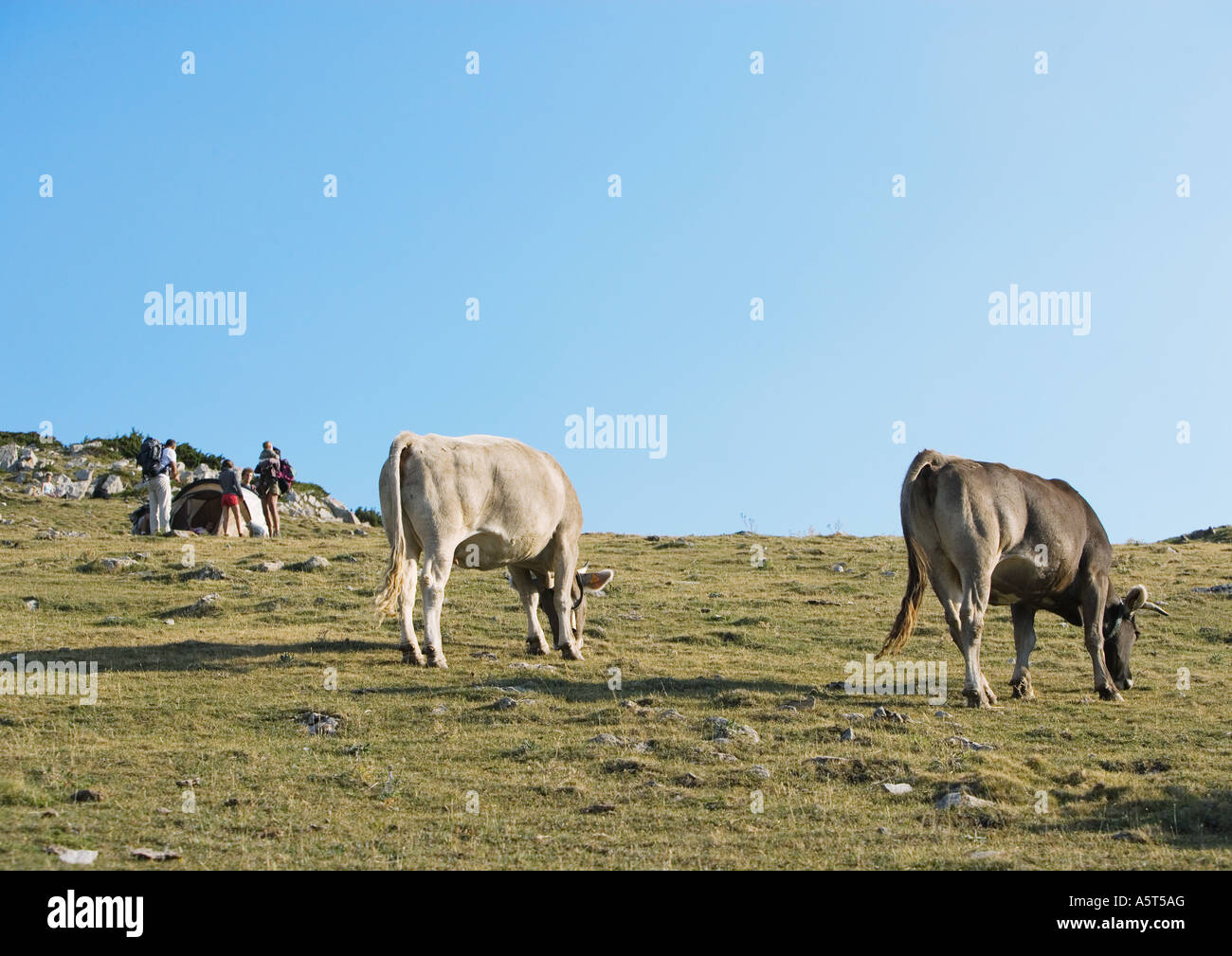 Cows grazing, campers in background - Stock Image