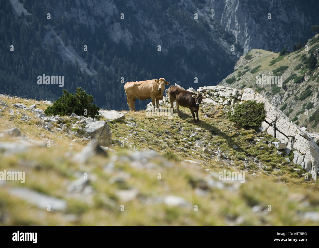 Cows standing on mountainside - Stock Image