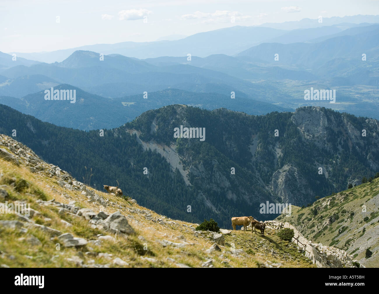 Mountainous landscape with cows - Stock Image