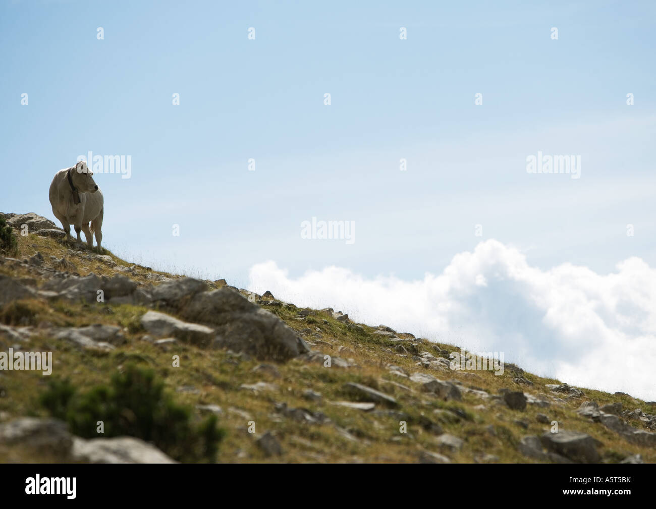 Cow standing on hillside - Stock Image