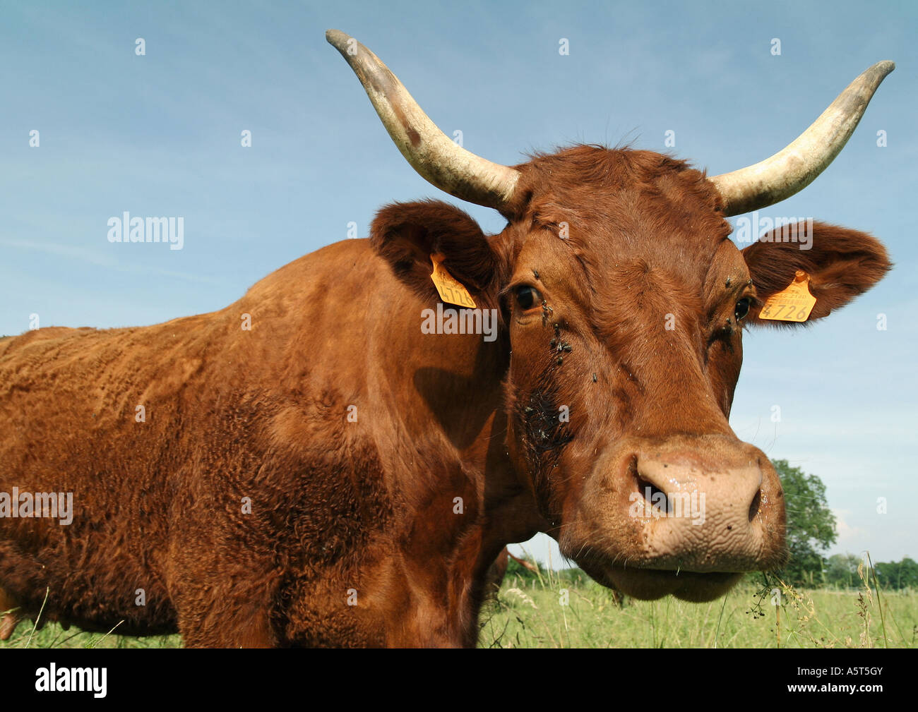 Cow, looking at camera - Stock Image