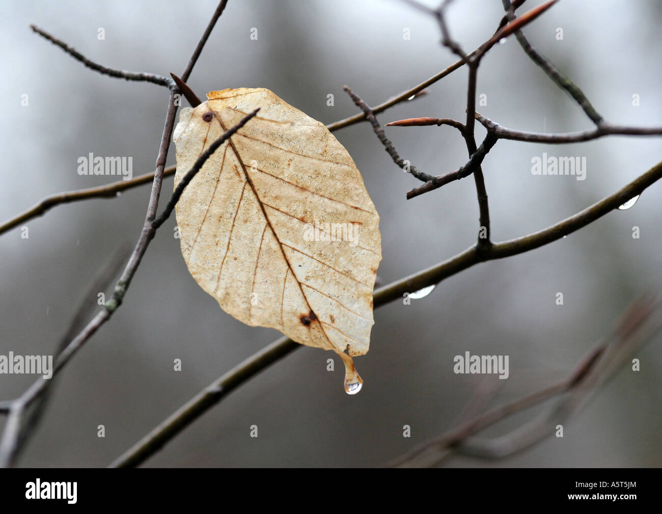 Leaf on tree, dripping - Stock Image