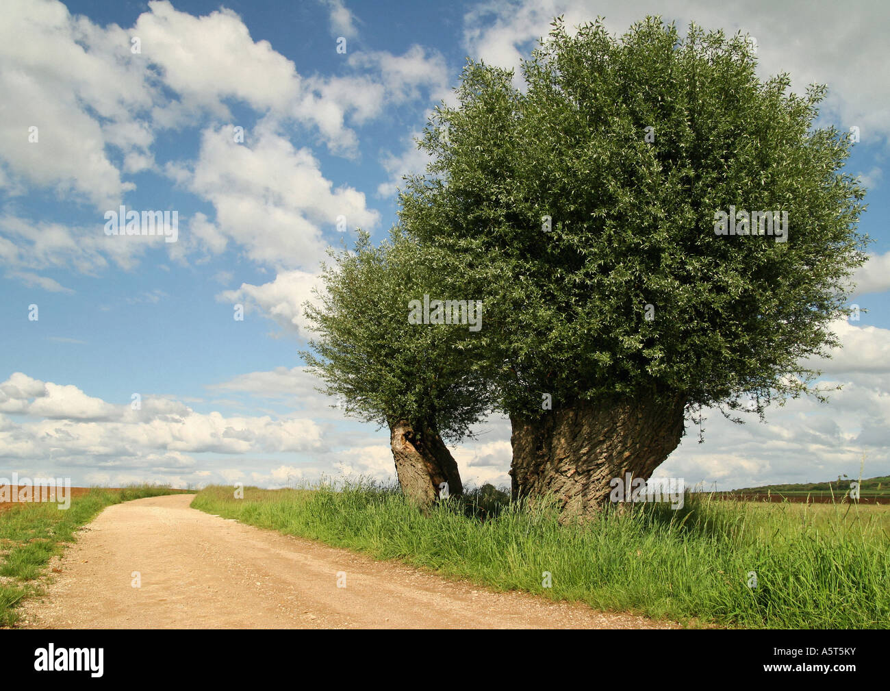 Country road and willow tree, Jura region, France - Stock Image