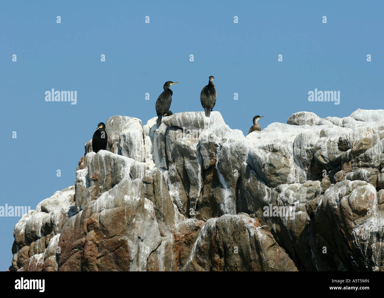 Ile de Brehat, Brittany, France, Common shags (Phalacrocorax aristotelis), cormorants, perched on rock - Stock Image