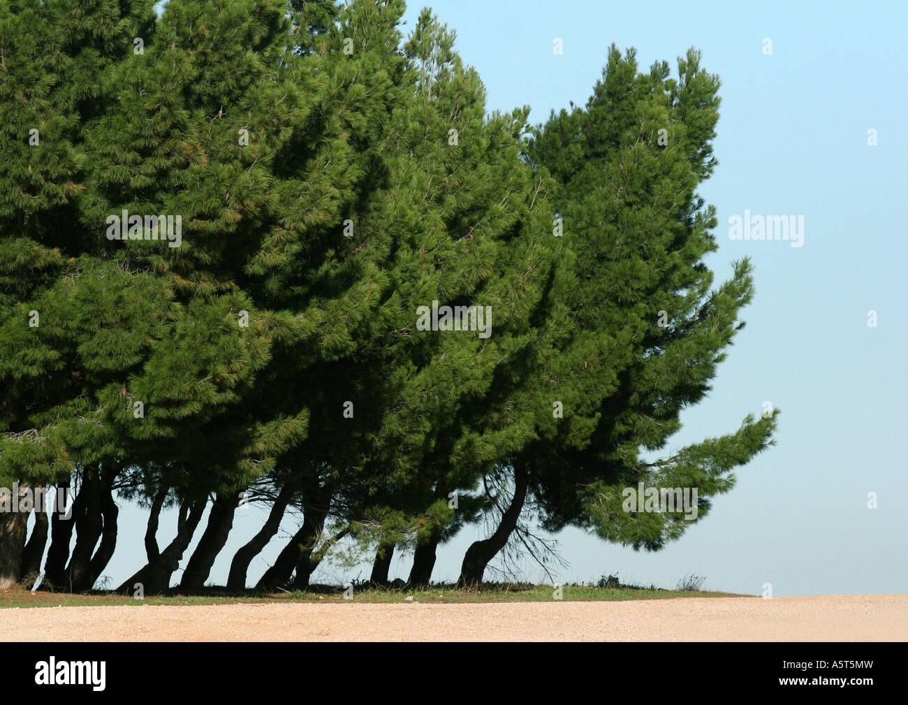 Evergreens - Stock Image