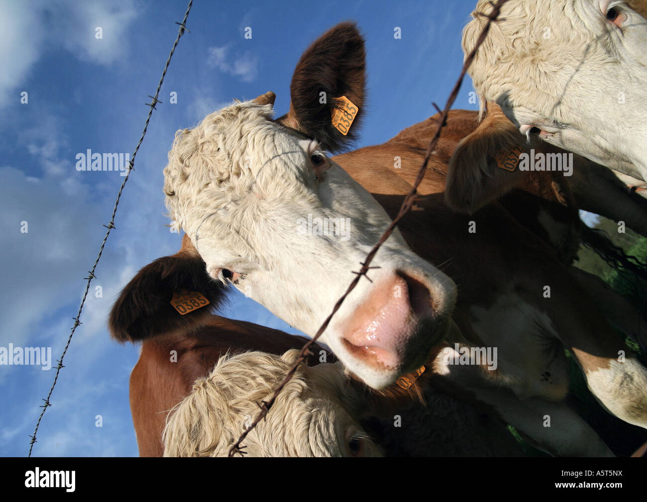 Cows looking through barbed wire fence, close-up - Stock Image