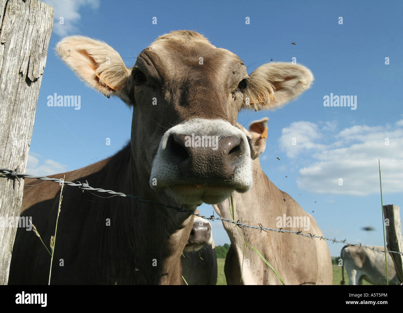 Brown swiss cow looking over barbed wire fence, close-up - Stock Image