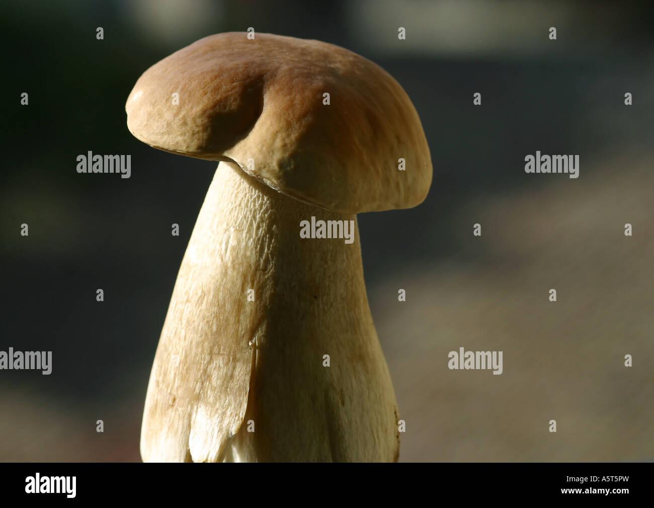 Boletus mushroom - Stock Image