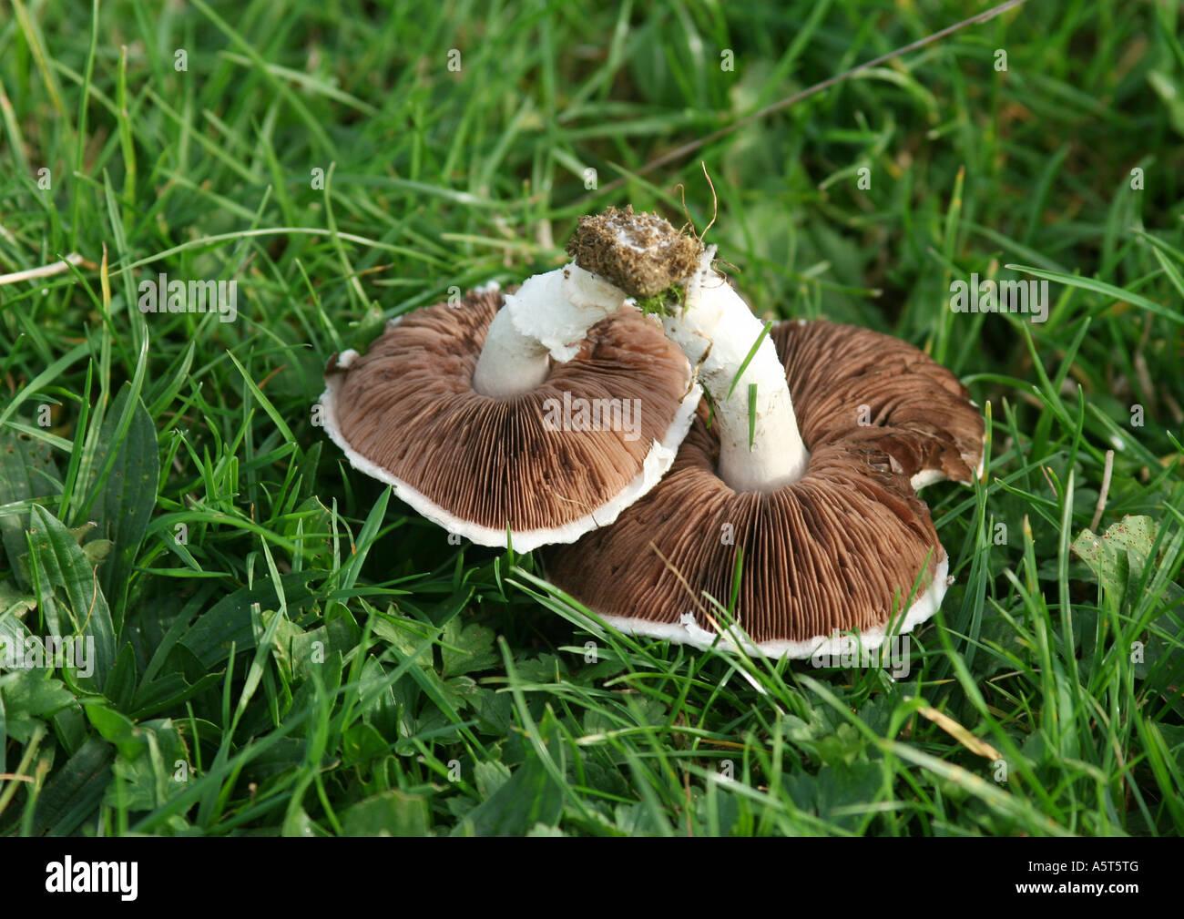 Mushrooms (agaricus campestris) on grass - Stock Image