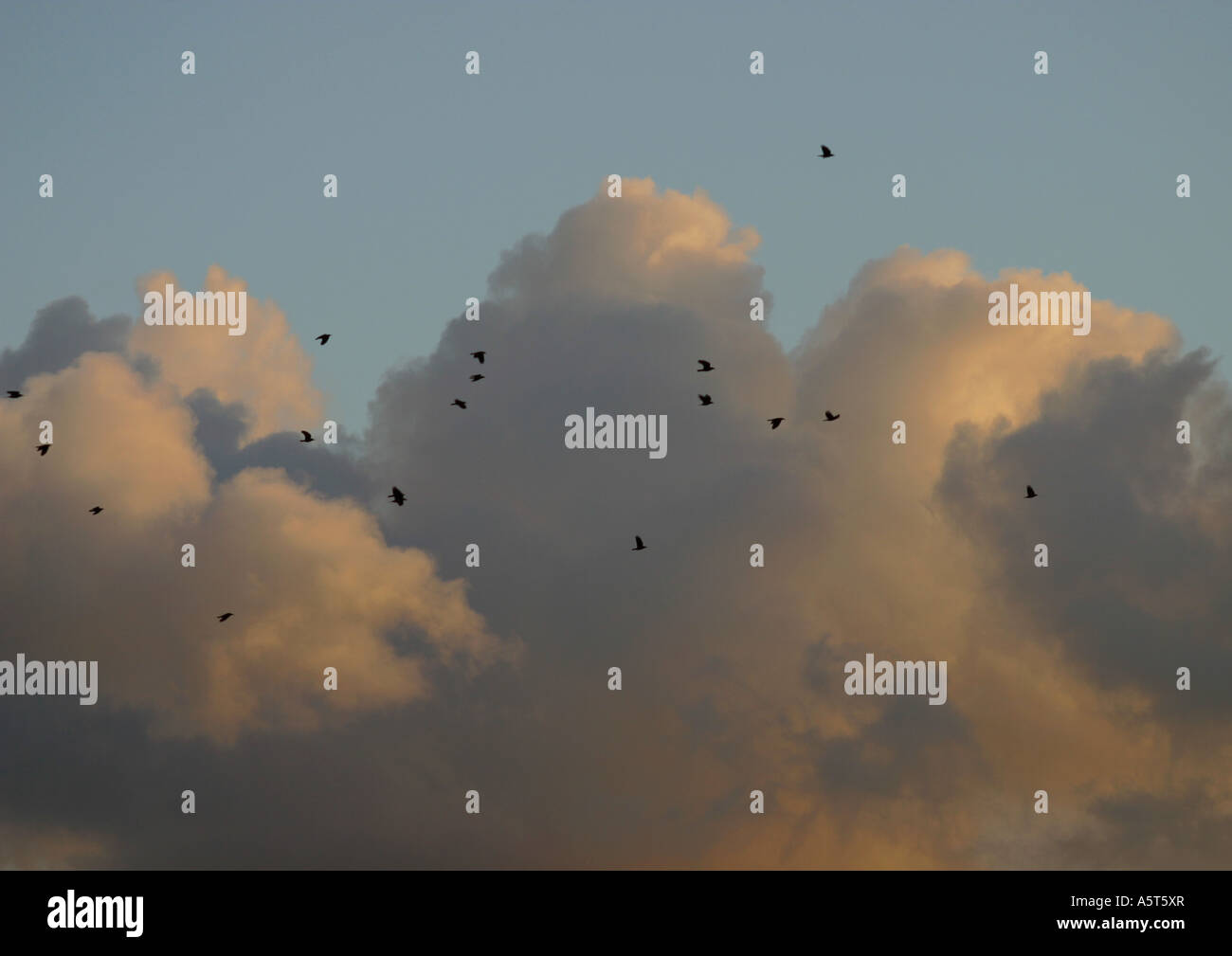 Birds flying in sky, clouds in background - Stock Image