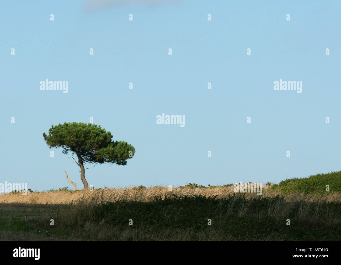 France, Brittany, pine tree in flat landscape - Stock Image