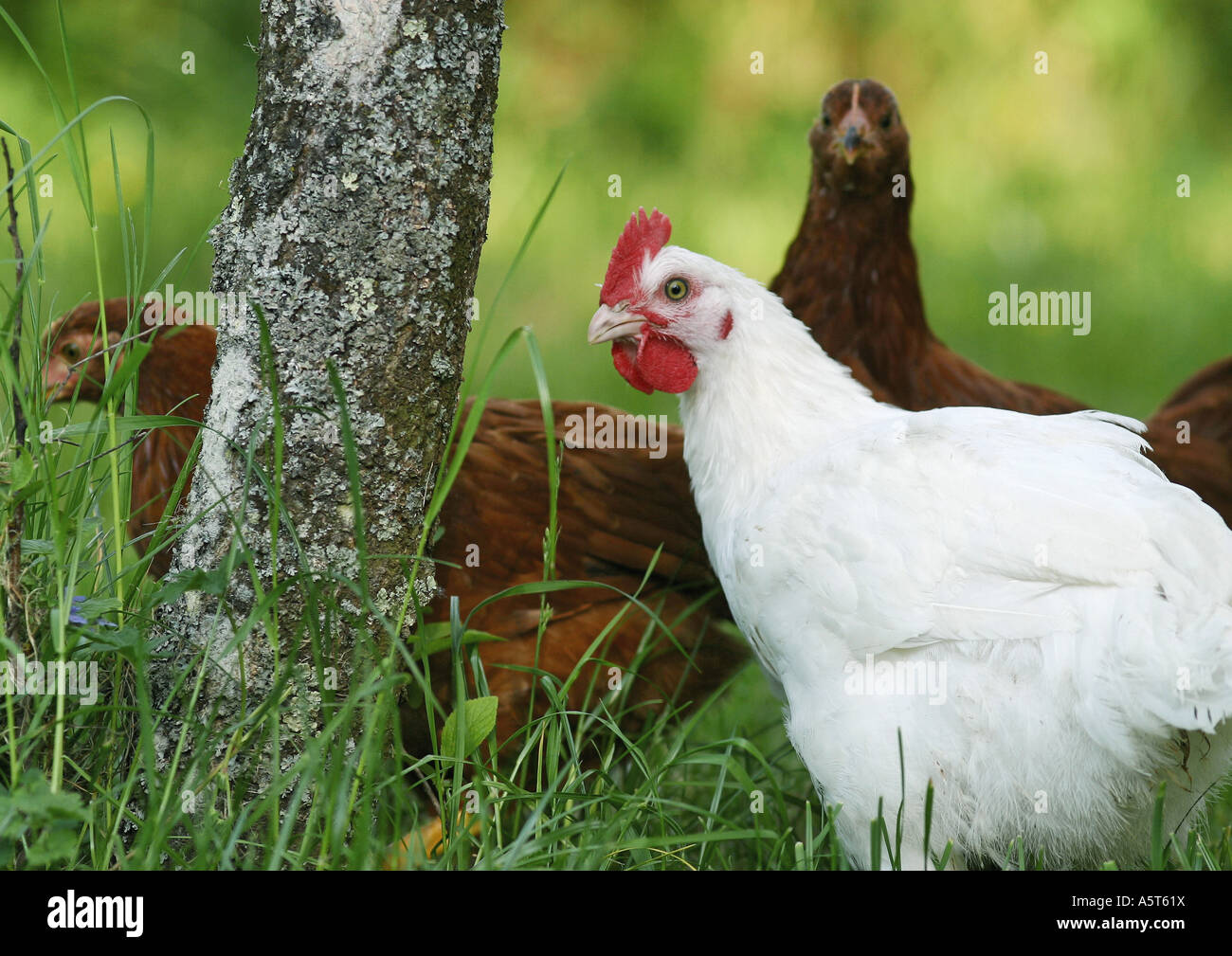 Hens - Stock Image