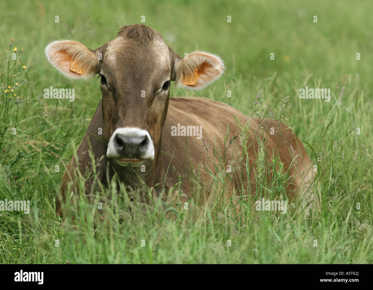 Brown swiss cow lying in grass - Stock Image