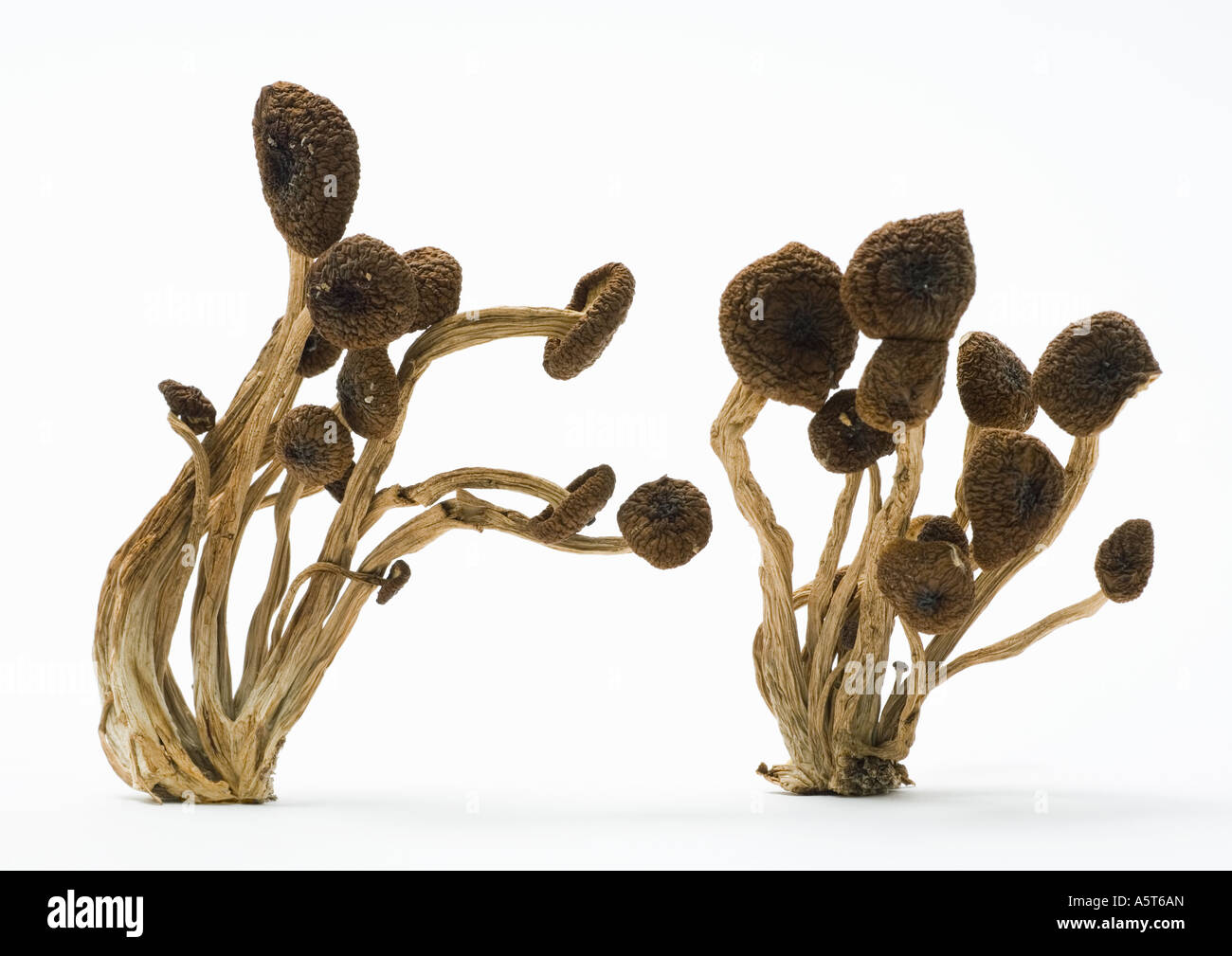 Shimeji mushrooms - Stock Image